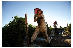 tomato worker