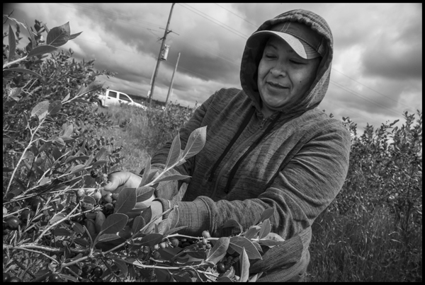Picking blueberries: Copyright David Bacon