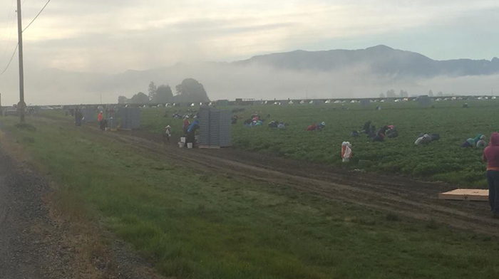 Workers picking berries at Sakuma Farm - Photo Credit: Familias Unidas