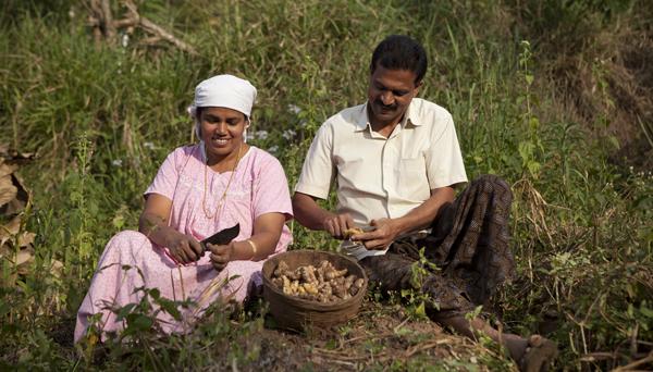 Renna Jose and K.P Jose, ginger farmers scraping ginger tubers,Wayanad, Kerala.