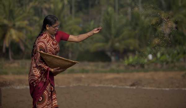 Annie Jose sewing rice seeds into her rice paddy