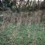 A plantation devastated by La Roya, or coffee leaf rust.