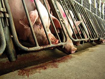 CAFO - Animal Cruelty