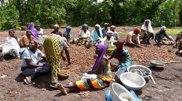 Processing the harvest of Shea Nuts