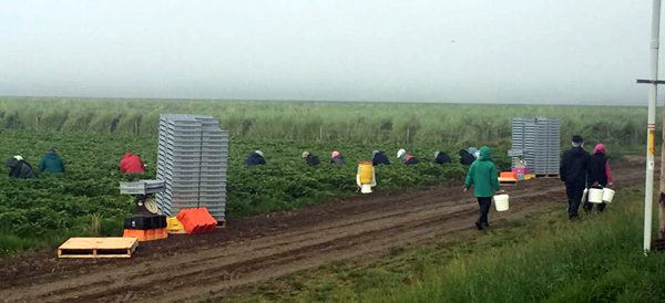 berry picking in fields - Photo Credit: Familias Unidas