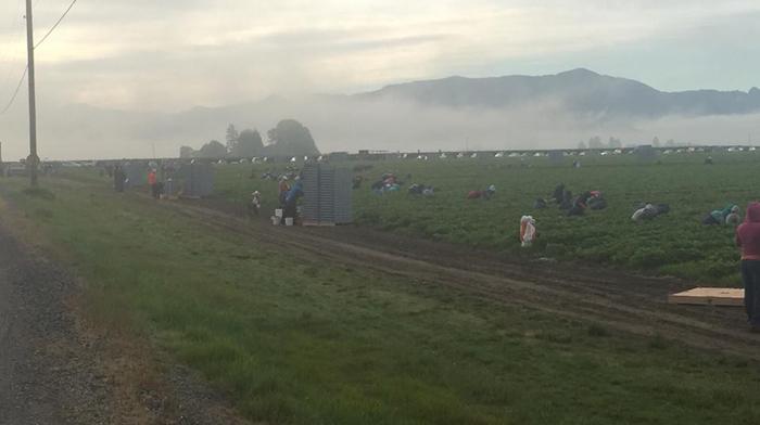 Workers picking berries at Sakuma Farm - Photo Credit: Familias Unidas