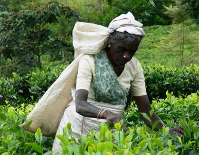 Tea plantation worker in India picking tea