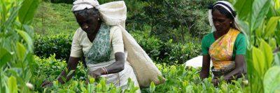 Tea plantation workers in Sri Lanka