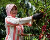 woman harvests coffee beans