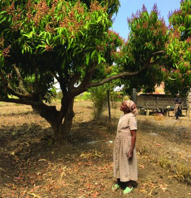 Looking up into a Mango Tree - YieldWise Initiative - Her Labor, His Land