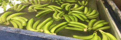 Fair Trade Bananas in Water Tank