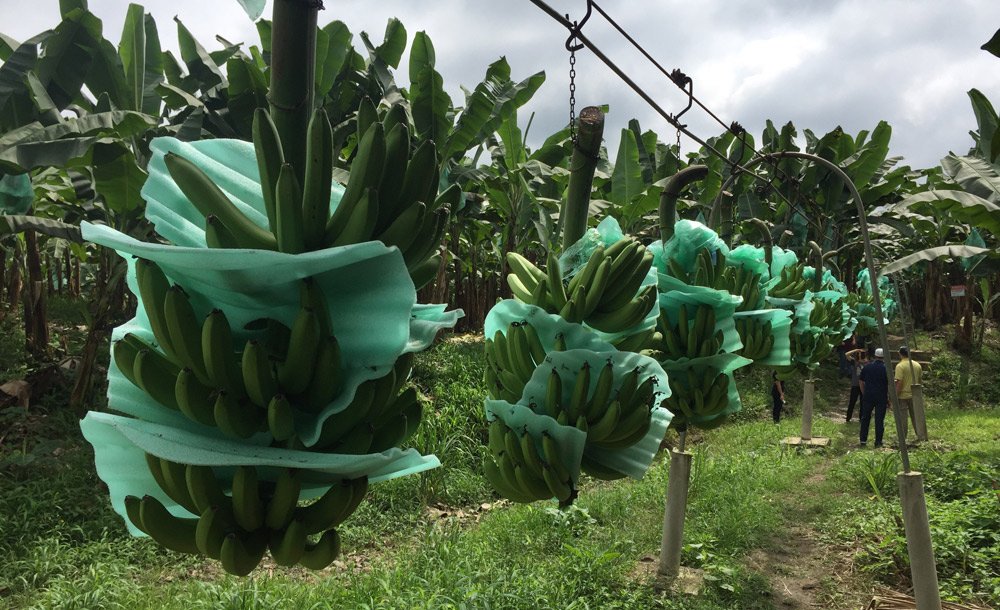 fair trade Bananas being moved for processing on Don Hugo's Small Scale Farm in Ecuador