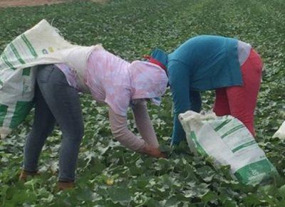 Melon Farmers in Honduras