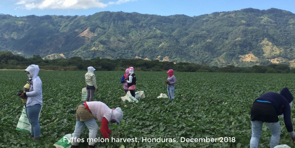 Melon Farmers in Honduras - Fyffes Plantation in December