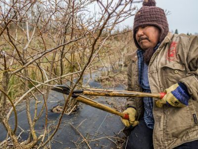 Pruning Blueberry plants, a photo of Modesto Hernandez, Tierra y Libertad Coop, taken by David Bacon
