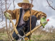 Pruning Blueberry plants, Ramon Torres in a photo taken by David Bacon