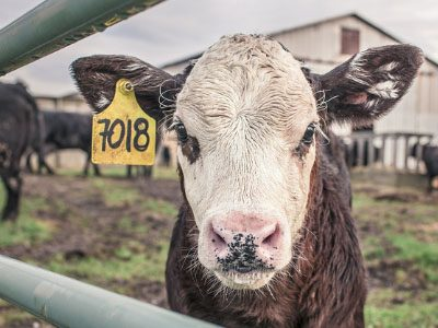 Picture of a calf with tagged ear – Factory Farming and Cheap Meat