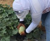 Fyffes Plantation Melon Farmer in Honduras