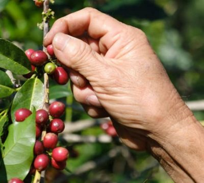Picking Coffee Beans - Dallas Habitat Photos