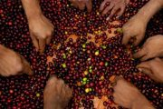 Sorting Coffee Cherries - USAID