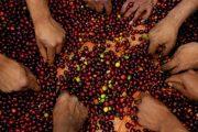 Sorting Coffee Cherries - USAID