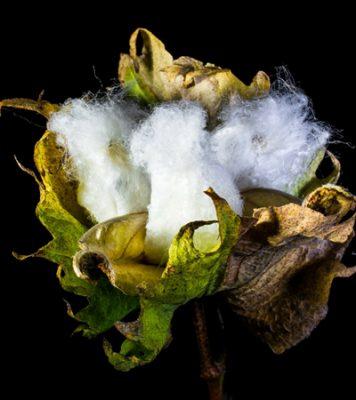 Cotton Capsule