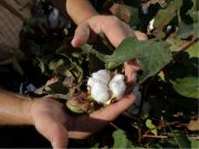 Cotton boll maturing on Bobby Byrd's cotton plant in Hale County near Plainview, Texas.