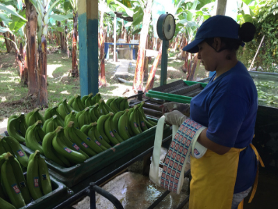 Packing bananas at AsoGuabo co-op, Ecuador