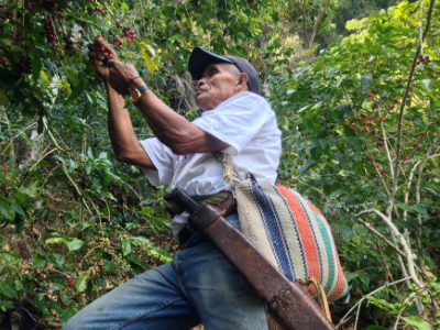 Coffee farmer picks coffee beans at Enjambre Cafetalero Co-op, Mexico- Issue 19: Coffee in Crisis