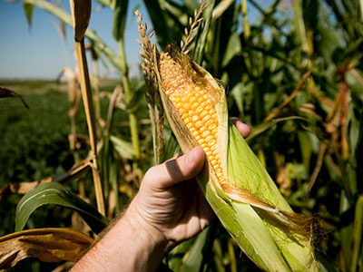 Holding a cob of corn in one on Iowa's corn fields - photo by Jeff Balke