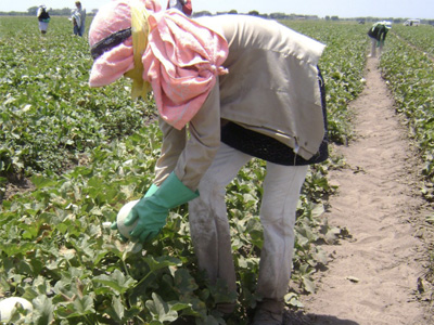 Farm Worker Picking Melons - Fyffes Farm