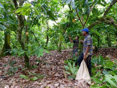 Cocoa Farmers pick cocoa pods