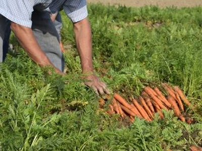 Pandemic Relief - Farmer harvesting carrots